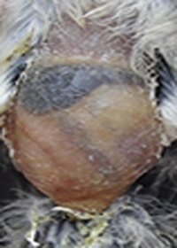 La coccidiosis y su tratamiento. Vientre de un pájaro con venas marcadas por infección de coccidiosis.