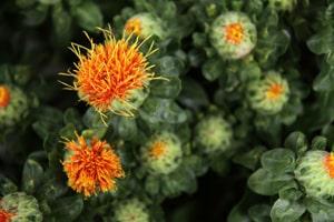 flor-semilla-cartamo-aves-pajaros