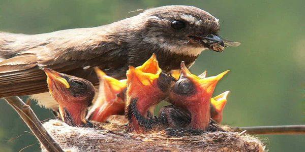 nido con pajaros alimentados por su madre