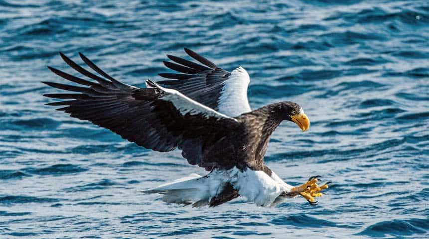 Aguila marina de Steller