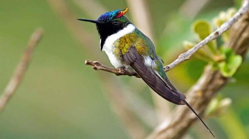 tipos de pajaros: colibri cuerno de oro