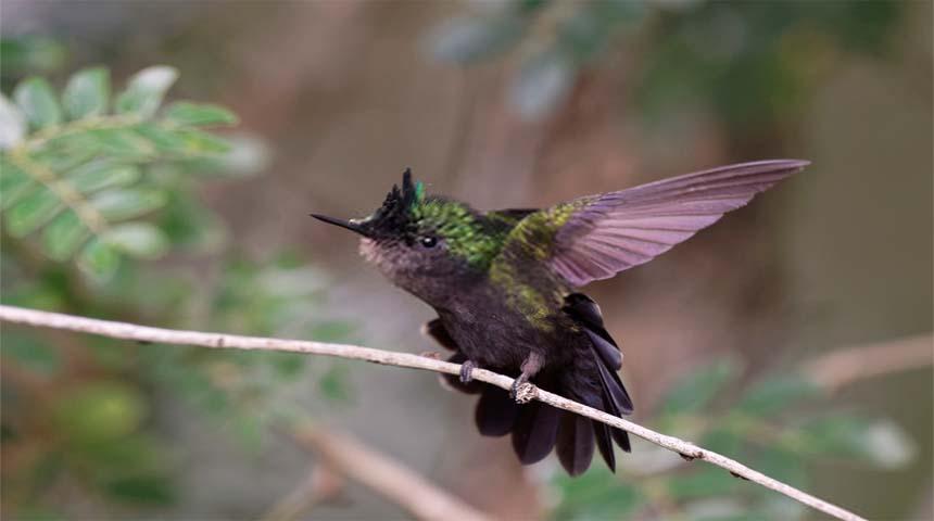 tipos de pajaros: colibri pico corto
