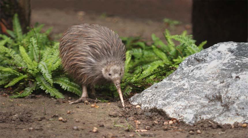 tipos de pajaros: kiwi