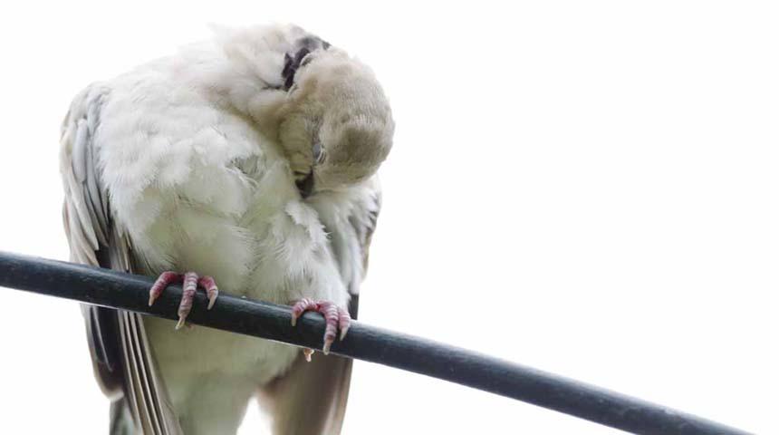 pajaro con salmonelosis en aves