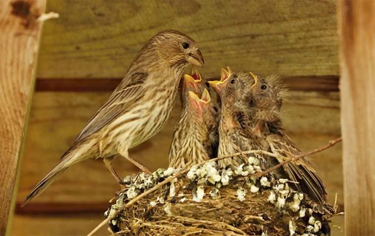 cria de aves en el nido