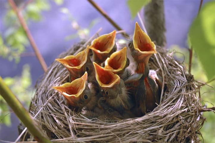 nido con pollos
