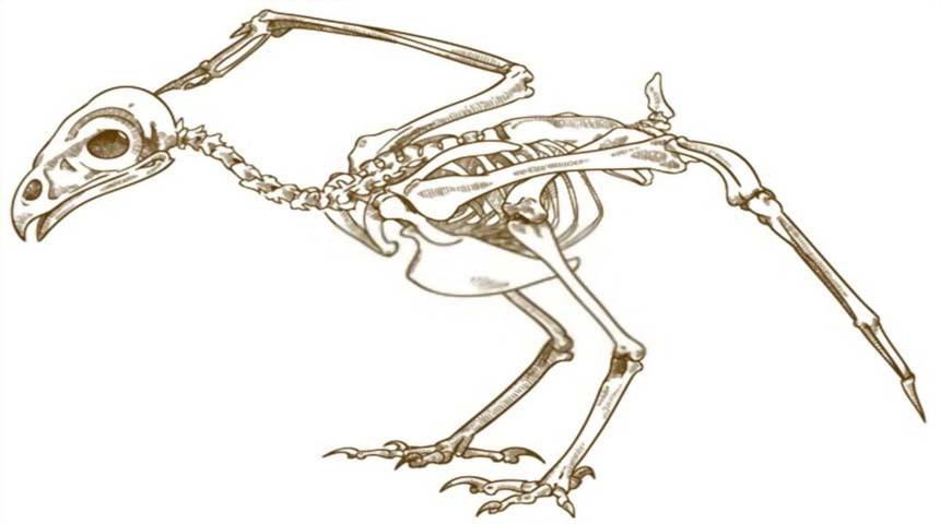 esqueleto de los pajaros