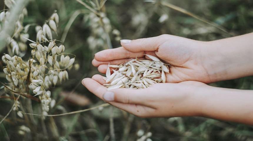 semilla de avena