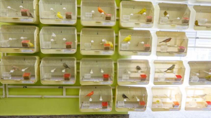 jaulas de concurso de canarios de color
