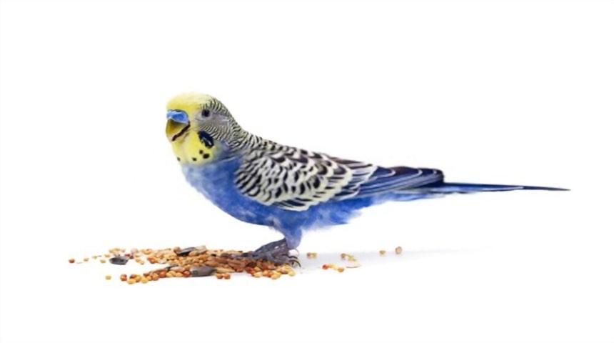 Clasificacion de las aves segun su alimentacion. Aves granívoras