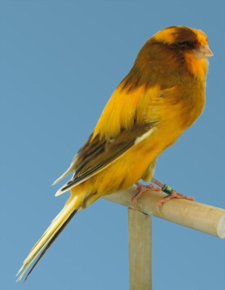 canary yorkshire
