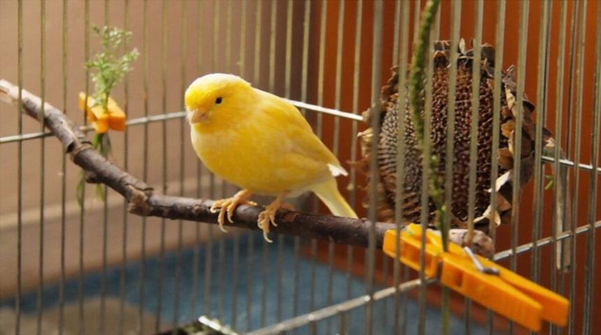 canarios amarillo en la jaula