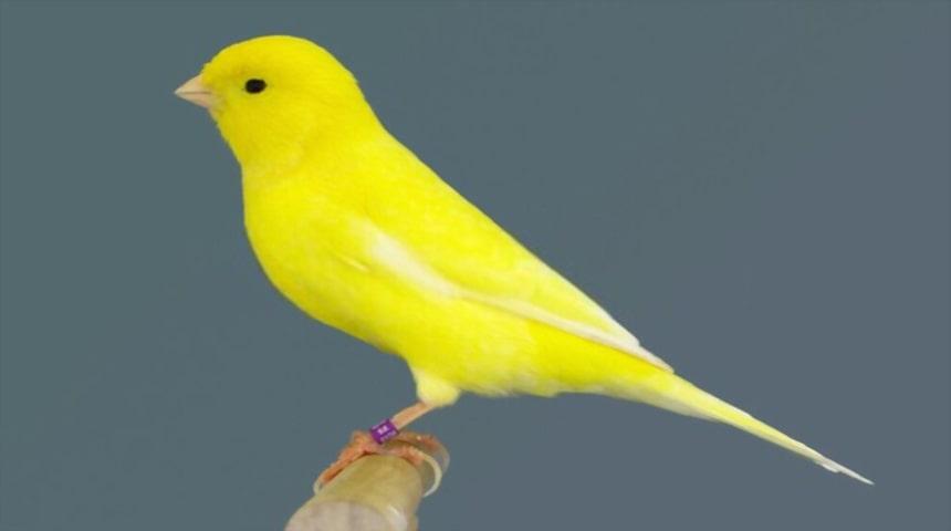 canario amarillo intenso