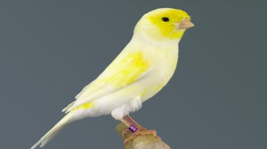 canario amarillo marfil