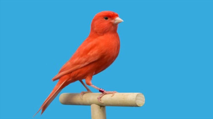 canario factor rojo
