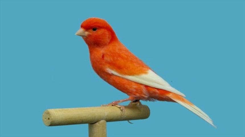 canario rojo alas blancas