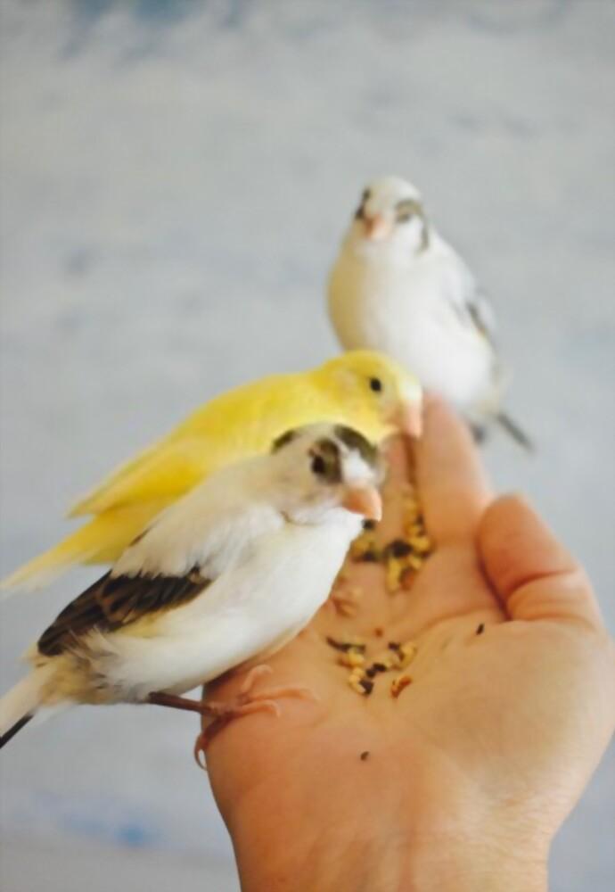 canarios en la mano