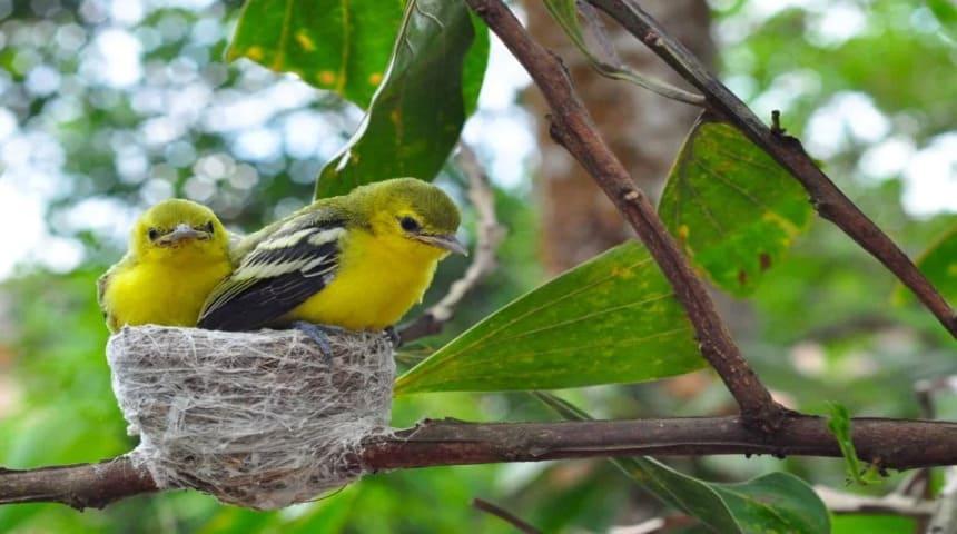 cria de canarios silvestres