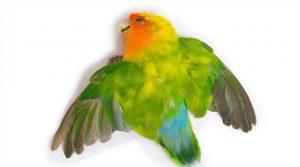ornithosis en loros