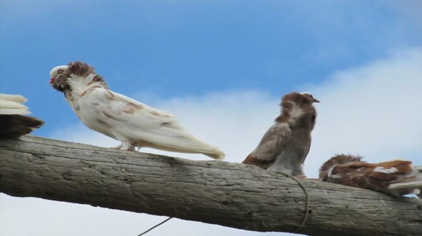 ornitosis en palomas