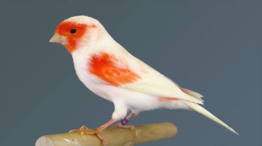 pajaro pintado de rojo y blanco