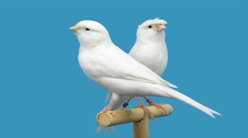 pareja de canarios blancos moña