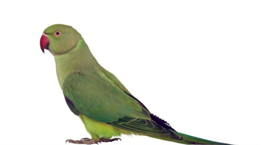 caracteristicas de parrots